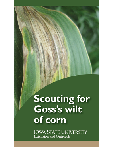 Scouting for Goss's wilt of corn
